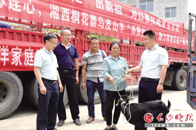 """从龙山县咱果乡购买的630只""""扶贫羊"""",被送给宁乡市266户贫困户。  长沙晚报全媒体记者 张禹 通讯员 范婷 摄影报道"""