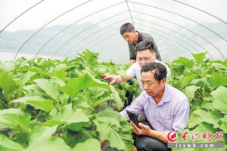 蔬菜大棚里,万昭松(紫衣)正跟扶贫干部联系的蔬菜种植大户视频连线请教。  长沙晚报全媒体记者 陈飞 摄