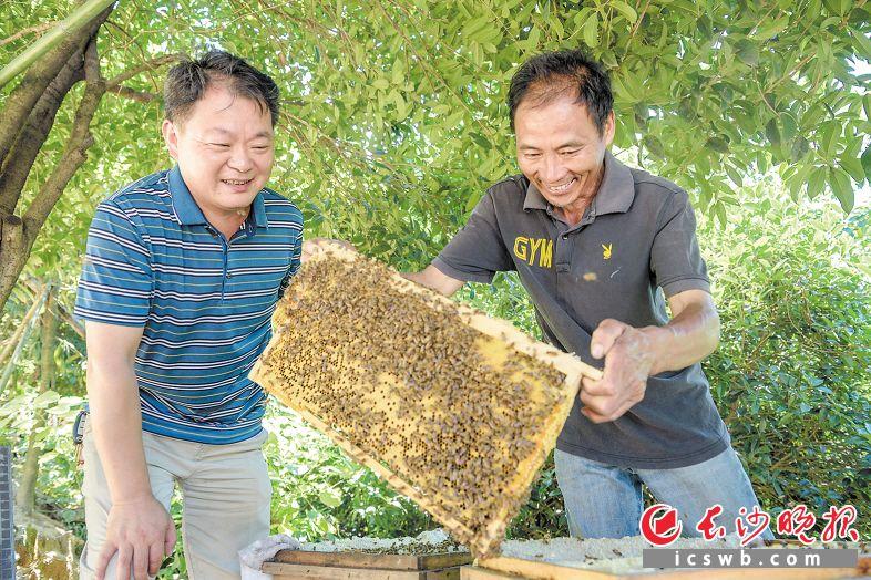 徐胜利(左)和谢义斌(右)在察看蜂脾情况。长沙晚报全媒体记者陈飞摄