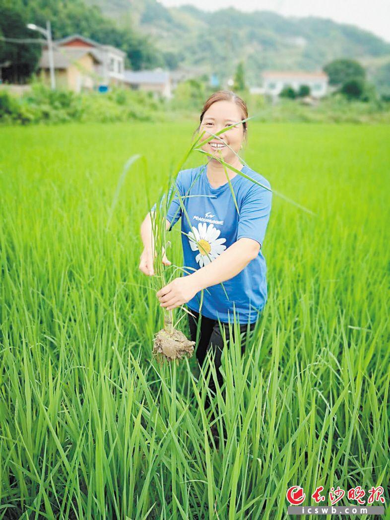绿油油的优质稻承载了洪家村贫困户李佩霞的脱贫致富梦。              长沙晚报全媒体记者 朱华 摄